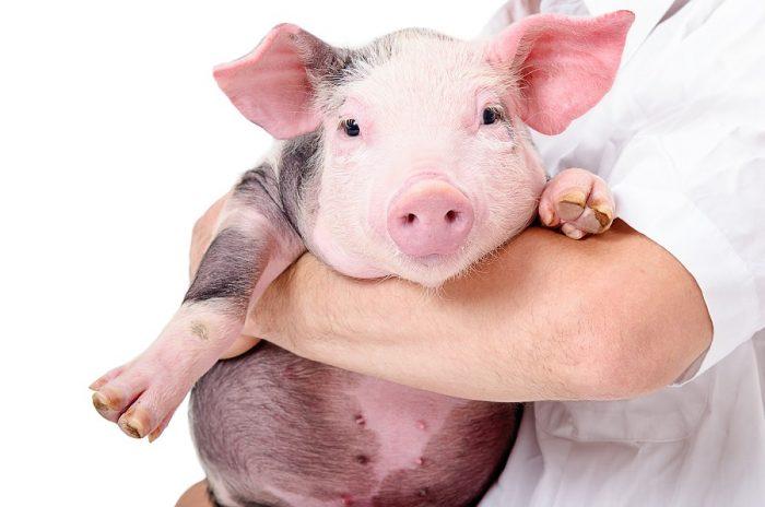 Estudios se centran en fabricar órganos humanos en animales