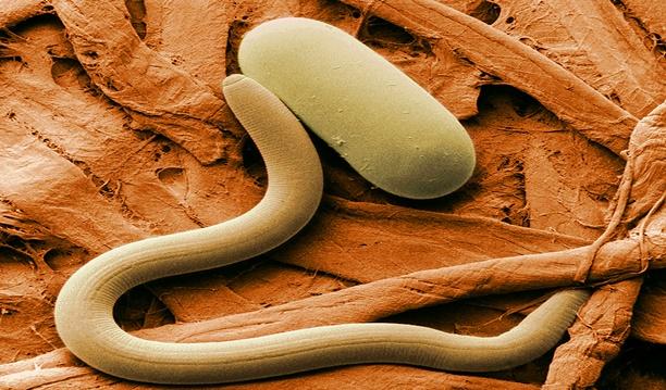 Descubren nematodos y los reviven miles de años después